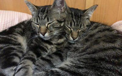 Per què és millor adoptar dos gats que un?